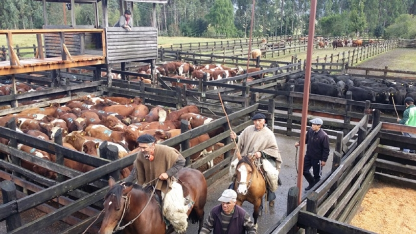 Viva Expeditions Patagonia Travel Cattle Market