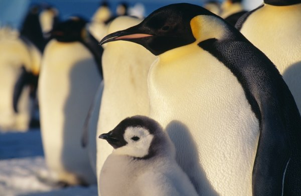 Be amazed by the beautiful Emperor penguins colony